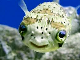 PufferFish01